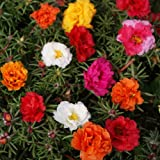 Outsidepride Moss Rose Mix - 5000 Seeds Photo, new 2018, best price $6.49 review
