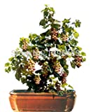 HOO PRODUCTS - 50pcs Bonsai Green Grapes Seeds Pot Dwarf Fruit Home Garden Climbing Tree Rapid Growth Variety Cheap! Photo, new 2018, best price $2.01 review