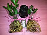 Emeritus Gardens Bare Rooted ZZ plants with Two Panterra Pots and Emeritus Plant Food Photo, new 2018, best price $10.99 review