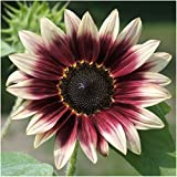 Package of 50 Seeds, Cherry Rose Sunflower (Helianthus annuus) Open Pollinated Seeds by Seed Needs Photo, new 2018, best price $3.65 review