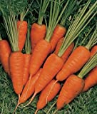 165+ Organic Short N Sweet Carrot Seeds - Non GMO - DH Seeds - Includes Free Gift - UPC0787639607779 Photo, new 2018, best price $6.09 review