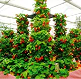 New Red giant Climbing Strawberry 500+ Seeds Photo, new 2018, best price $2.20 review