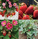 David's Garden Seeds Collection Set Fruit Strawberry LX7449 (Red) 4 Varieties 275 Seeds (Non-GMO, Open Pollinated, Heirloom) Photo, new 2019, best price $20.95 review