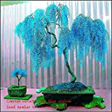 Sale 50pcs Rare Sky Blue Willow Seeds Chinese Perennial Flower Indoor Plants Seed Evergreen Bonsai Tree For Garden Decoration Multi-Colored Photo, new 2019, best price $1.56 review