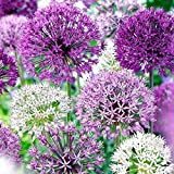 Allium Purple Blend 30 Bulbs--4-6 Inch Flower Diameter! Photo, new 2020, best price $14.99 review
