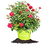 DOUBLE RED KNOCK OUT ROSE - Size: 3 Gallon, live plant, includes special blend fertilizer & planting guide Photo, new 2018, best price $85.18 review