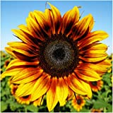 Package of 85 Seeds, Firecracker Sunflower (Helianthus annuus) Non-GMO Seeds By Seed Needs Photo, new 2018, best price $3.65 review