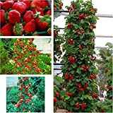 Red 300 pcs Strawberry Climbing Strawberry Fruit Plant Seeds Home Garden New Photo, new 2018, best price $4.78 review