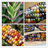 corn seeds Authentic Glass Gem Indian Corn Seeds! Heirloom, Rainbow, Non-GMO vegetable seeds for home garden planting Photo, new 2018, best price $4.78 review