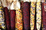 Indian Corn Seed by Stonysoil Seed Company Photo, new 2019, best price $7.95 review