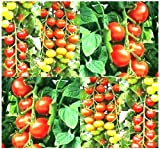 25 TUMBLER CHERRY GRAPE Tomato seeds HEIRLOOM GREAT 4 BASKET EXCEPTIONALLY SWEET Photo, new 2018, best price $5.95 review