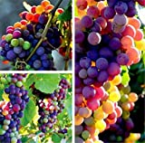 FD3628 Organic Rainbow Grape Seeds Sweet Grapevine Vine Home Garden Plant 10PCs Photo, new 2018, best price $1.39 review