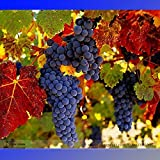 New Rare French Cabernet Sauvignon Grape Bush Organic Seeds, Professional Pack, 15+ Seeds / Pack Photo, new 2018, best price $8.29 review