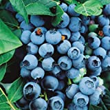 Saavyseeds Organic Highbush Blueberry Seeds - 105 Count - Photo, new 2018, best price $2.45 review