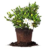Kleim's Hardy Gardenia - Size: 1 Gallon, Live Plant, Includes Special Blend Fertilizer & Planting Guide Photo, new 2019, best price $23.64 review