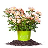 PEACH DRIFT ROSE - Size: 1 Gallon, live plant, includes special blend fertilizer & planting guide Photo, new 2017, best price $28.99 review