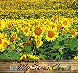 200 PEREDOVIK Sunflower Seeds ~ Game Birds & Deer Favorite~ PLOT FOOD WILDLIFE ~ Photo, new 2018, best price $6.95 review