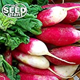 French Breakfast Radish Seeds - 200 Seeds NON-GMO Photo, new 2019, best price $1.95 review