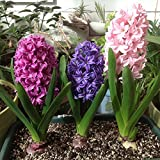 Adarl 300pc/Package Multi Hyacinth Seeds Ornamental Plants Seeds Courtyard Garden With Flower Seeds Professional Pack Photo, new 2017, best price $3.25 review