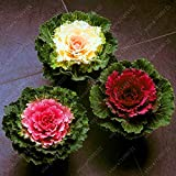 HOO PRODUCTS - Flower Seeds bonsai Flowering Ornamental Cabbage Seeds Plant Flowering Kale In Bonsai Or Pot Garden Decoration 100 Pcs/Bag Loss Promotion Photo, new 2018, best price $1.25 review