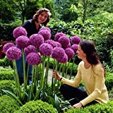 50pcs Giant Allium Giganteum Onion Flower Seeds, Dreamlike Purple Flower For Garden Spring Plant Decoration Photo, new 2018, best price $2.99 review