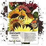130 Sunflower Seeds - Evening Colors (Helianthus annuus) Seeds By Seed Needs Photo, new 2019, best price $3.85 review
