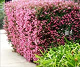 Loropetalum Chinese Fringe Flower Plum Delight Qty 40 Live Flowering Plants Photo, new 2018, best price $134.99 review