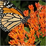 Package of 10,000 Seeds, Butterfly Milkweed/Monarch Flower (Asclepias tuberosa) Open Pollinated Seeds by Seed Needs USA Photo, new 2018, best price $3.92 review