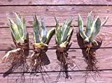 Yellow & Blue/Green Agave Cactus Plant - Small (Live Bareroot Plant) Photo, new 2018, best price  review