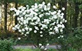 Chinese Snowball Bush - Live Plant - Shipped 1 to 2 Feet Tall (No California) Photo, new 2018, best price $23.95 review