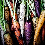 Package of 800 Seeds, Rainbow Carrots (Daucus carota) Non-GMO Seeds By Seed Needs Photo, new 2018, best price $3.65 review