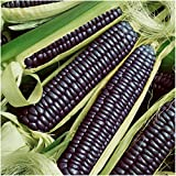Seed Needs Package of 100 Seeds, Blue Hopi Ornamental Corn (Zea mays) Non-GMO Seeds Photo, new 2019, best price $7.85 review
