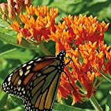 100 Butterfly Milkweed/Monarch Flower Seeds (Asclepias Tuberosa) Photo, new 2019, best price $1.77 review