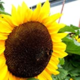 Mammoth Russian Sunflower - 30 Seeds, 7g Photo, new 2018, best price $1.67 review