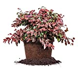 RUBY LOROPETALUM - Size: 1 Gallon, live plant, includes special blend fertilizer & planting guide Photo, new 2017, best price $39.63 review
