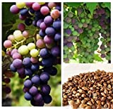 Homegrown Grape Seeds, 20 Seeds, Delicious Bicolor Grape Variety Photo, new 2017, best price $4.78 review