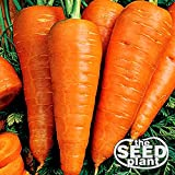 Danvers Half Long Carrot Seeds - 1000 SEEDS NON-GMO Photo, new 2019, best price $1.95 review