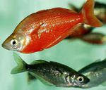 Red rainbowfish  Photo and care