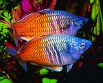 Boesemans Rainbowfish  Photo and care