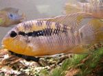 Banded Acara Photo and care