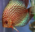 Red discus Photo and care