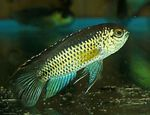 Golden Dwarf Cichlid  Photo and care