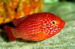 Red Jewel Cichlid Photo and care