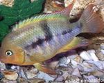 T-Bar Cichlid Freshwater Fish  Photo