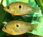Orange chromide Freshwater Fish  Photo