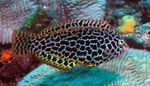 Leopard wrasse  Photo and care