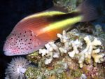 Freckled hawkfish Photo and care