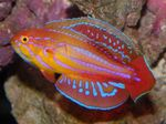 Filamented flasher-wrasse Photo and care