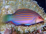 Six-line Wrasse  Photo and care