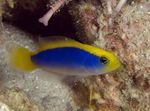 Sunrise Dottyback Photo and care